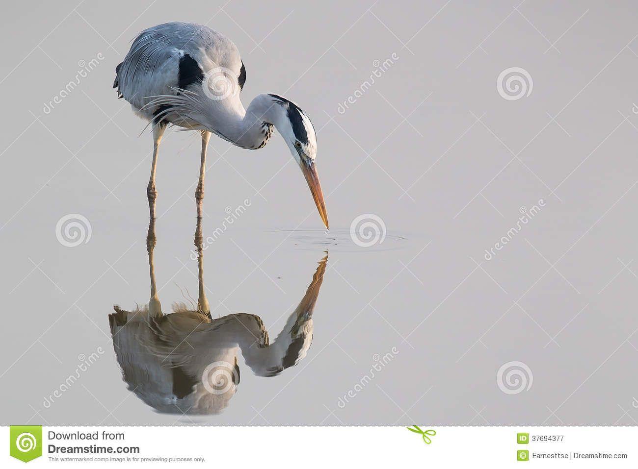 grey heron standing - Google Search