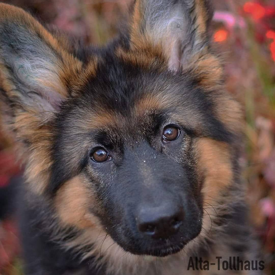 GSD Puppy (With images) Small dog breeds, Dog breeds, Dogs