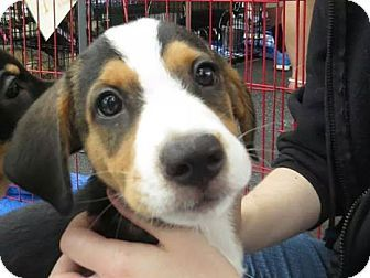 Beagle Hound Unknown Type Mix Puppy For Adption In Carteret