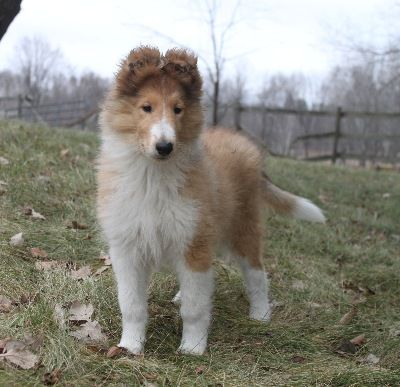 Northern Classic Collies Rough Collie Collie Collie Puppies