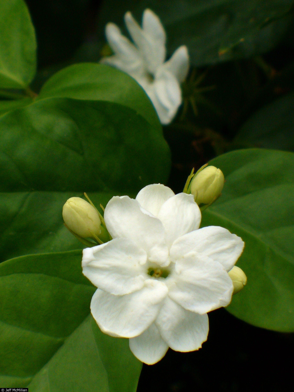 Jasminum Sambac Jasmine Pinterest Jasmine Arabian Jasmine And