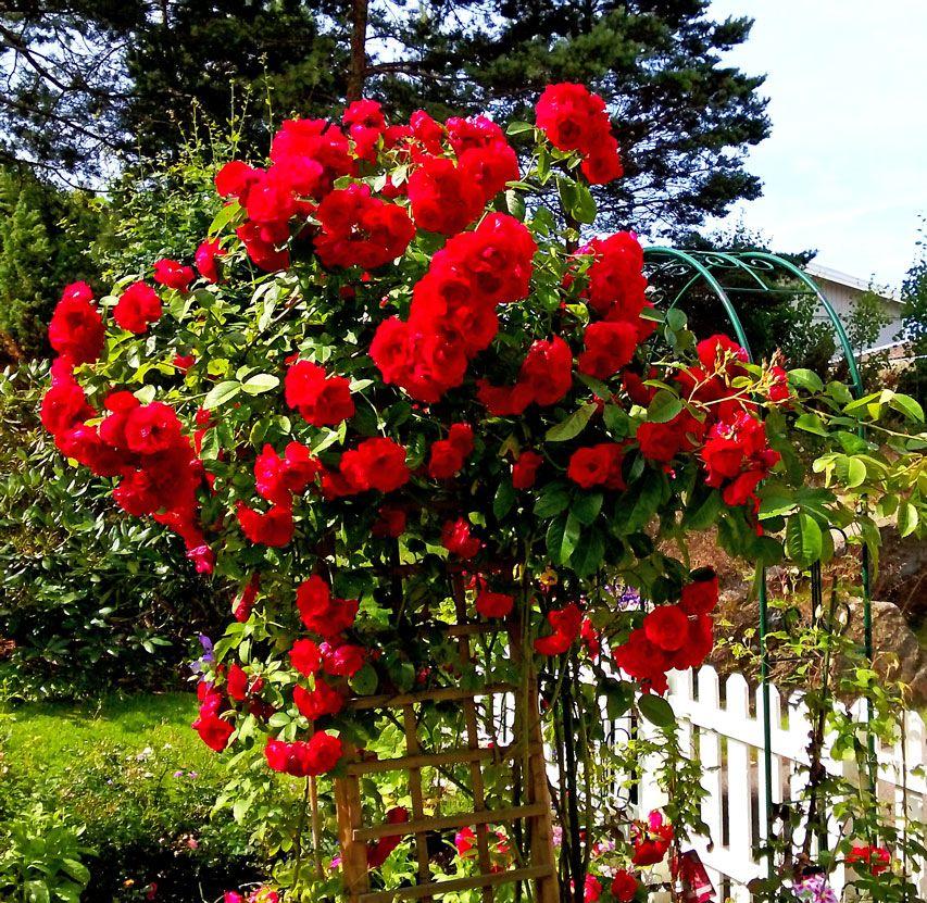 rose sympathie kordesii s k p google blommor pinterest. Black Bedroom Furniture Sets. Home Design Ideas