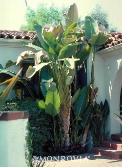 Giant Bird Of Paradise -Includes both true tropicals and tropical-looking hardy plants hardy bananas, fatsias, big-leaved hostas, aucuba, cannas. Trees/shrubs: palms, hibiscus, gingers, bananas, bird of paradise, cannas, agapanthus, Elephant Ears, Australian ferns. Vines: bougainvillea, mandevilla, passiflora. monrovia #elephantearsandtropicals Giant Bird Of Paradise -Includes both true tropicals and tropical-looking hardy plants hardy bananas, fatsias, big-leaved hostas, aucuba, cannas. Trees/s #elephantearsandtropicals