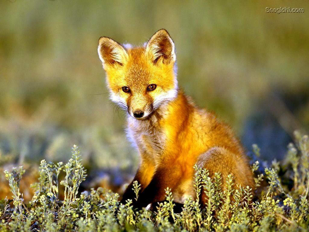 Baby Fox Google Images Fuchs Haustier Tierbilder Tiere Wild
