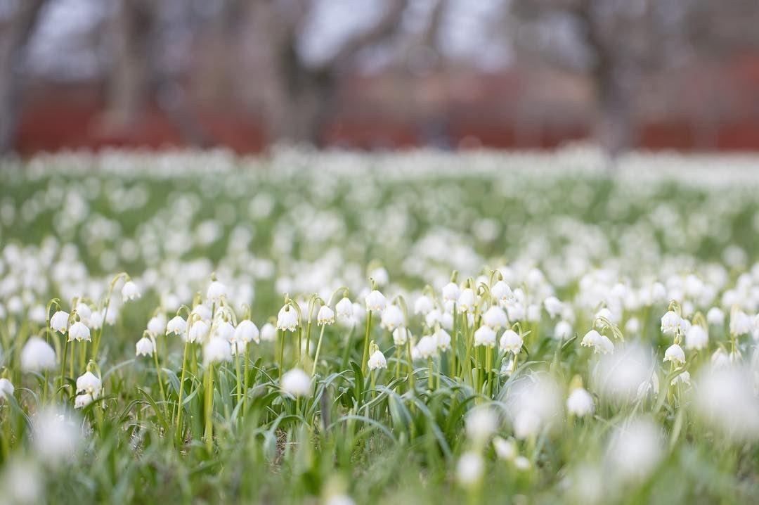 """41a0f8ffe366 89 Likes, 17 Comments - Jonas Åkesson (@jonas_fotograf) on Instagram:  """"Äntligen lite vårbilder! Blommorna heter klosterliljor."""