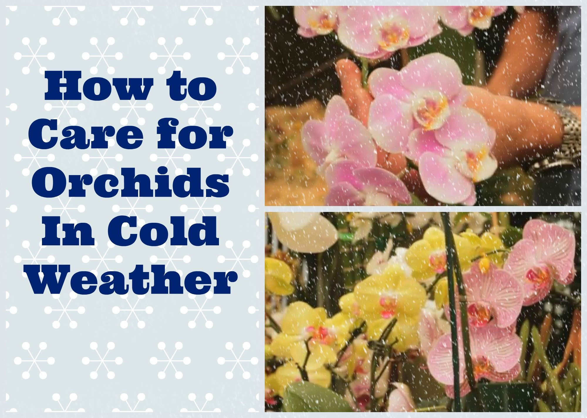 How To Care For Orchids In Cold Weather Popular Pins