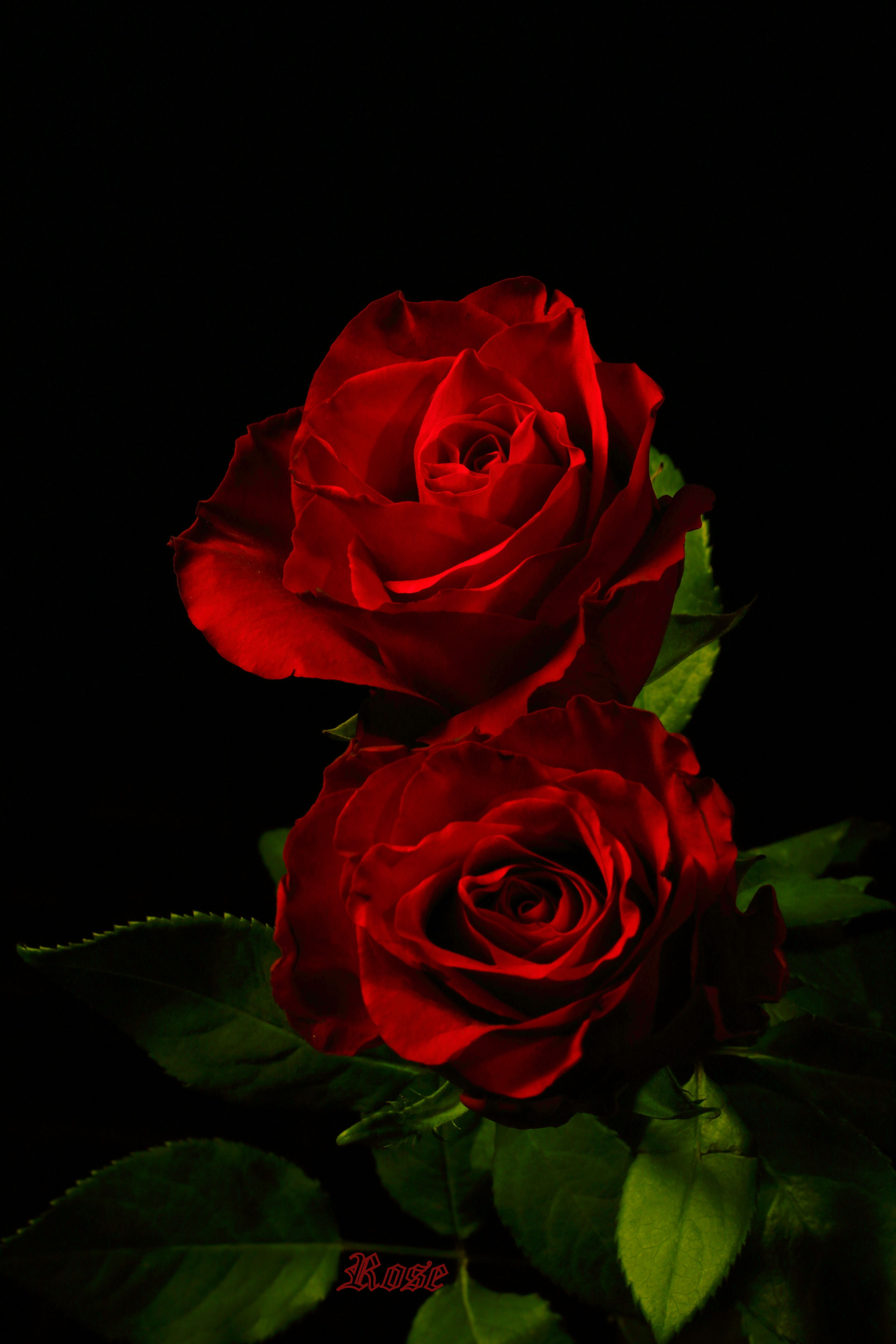 Pin by N.K on Red roses ️ ️3 Beautiful red roses