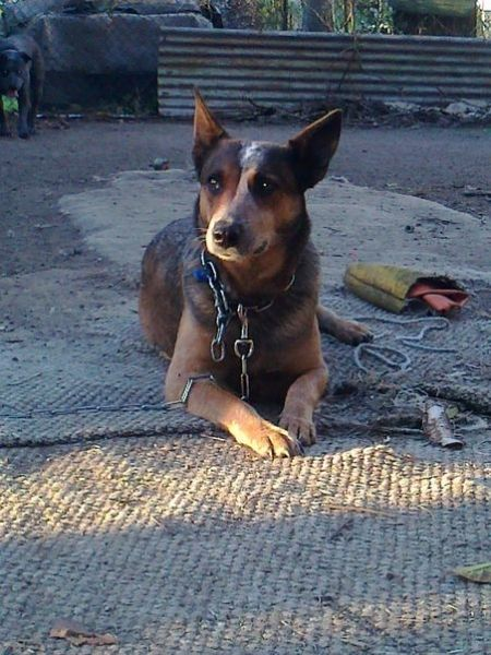 purebred dog for sale