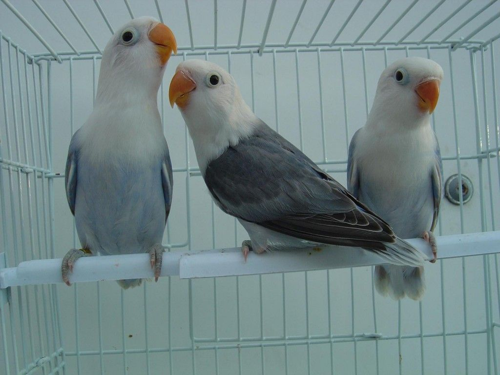 Mutations Agapornis Color Mutations Met Afbeeldingen Vogels