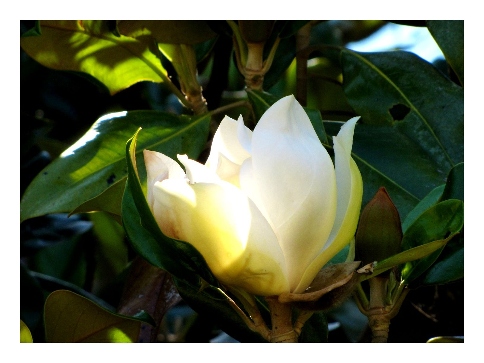 Southern Magnolia at Shirley Plantation