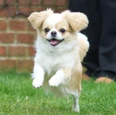 Cheeks Dog Pekingese Chihuahua Mix Info Temperament Puppies
