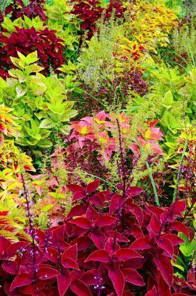 How To Grow Coleus Plants Plants Annual Plants Fast Growing Plants