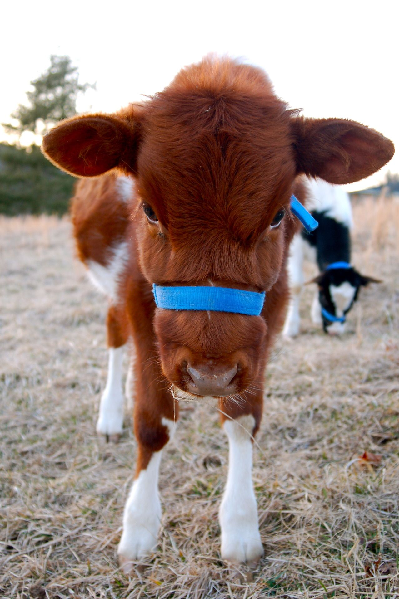 Look at that sweet face😊 Baby cows, Baby animals