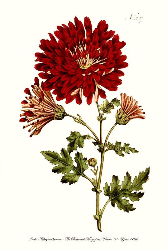 Indian Chrysanthemum Large Red Flower Fine Art Botanical Print 1796 Botanical Illustration Vintage Botanical Prints Botanical Prints
