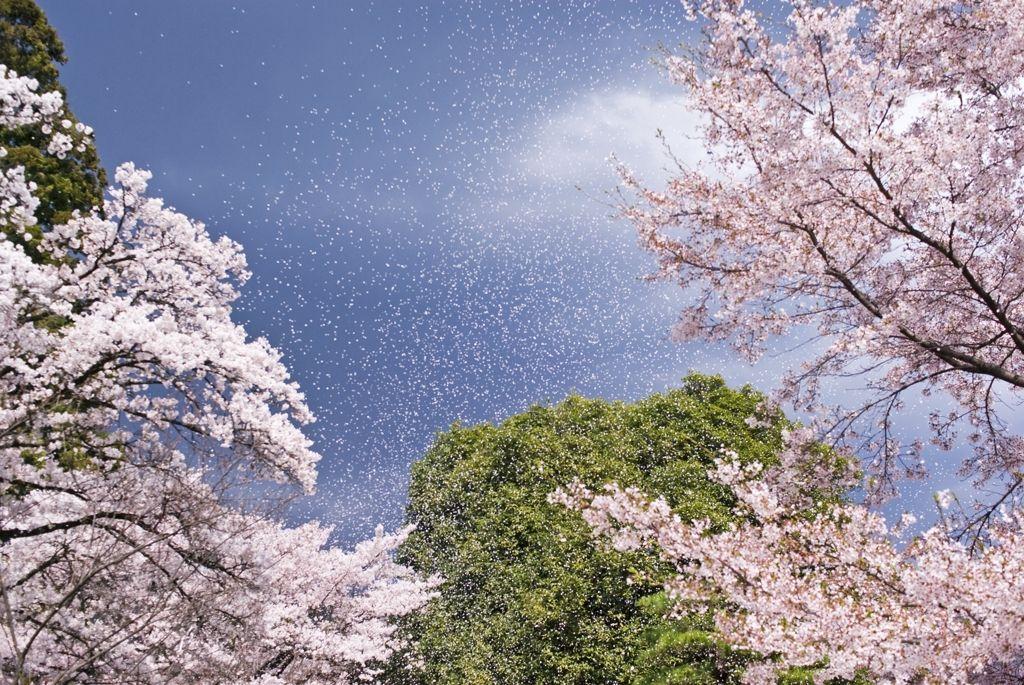 Cherry blossom shower by ゴルゴン蔵 on PHOTOHITO
