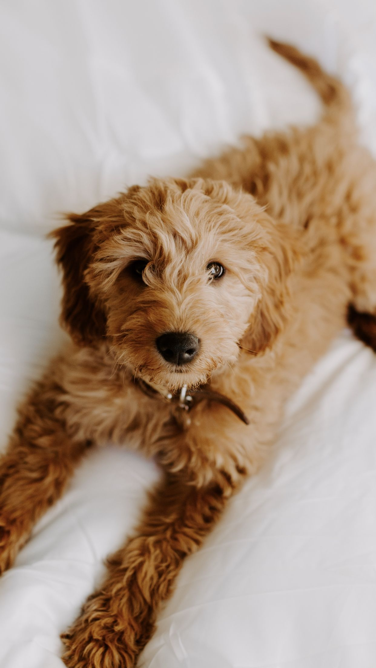 Cute puppies, Goldendoodles, Tiny Puppies, Puppy Pictures