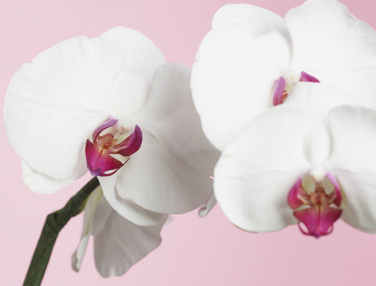 comment faire refleurir une orchid e jardin orchids. Black Bedroom Furniture Sets. Home Design Ideas