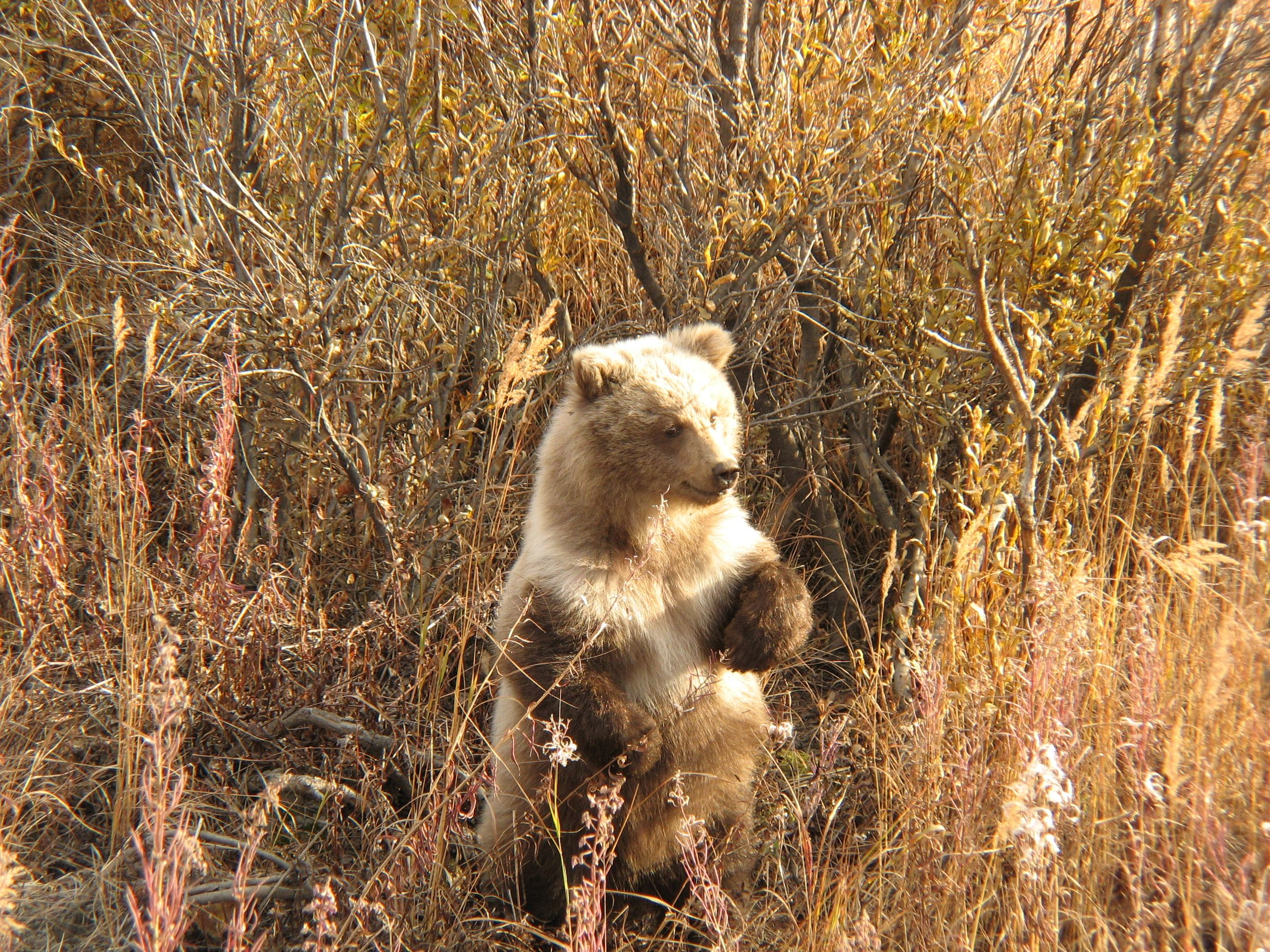 Grizzly cub looking for mom in Denali NP.