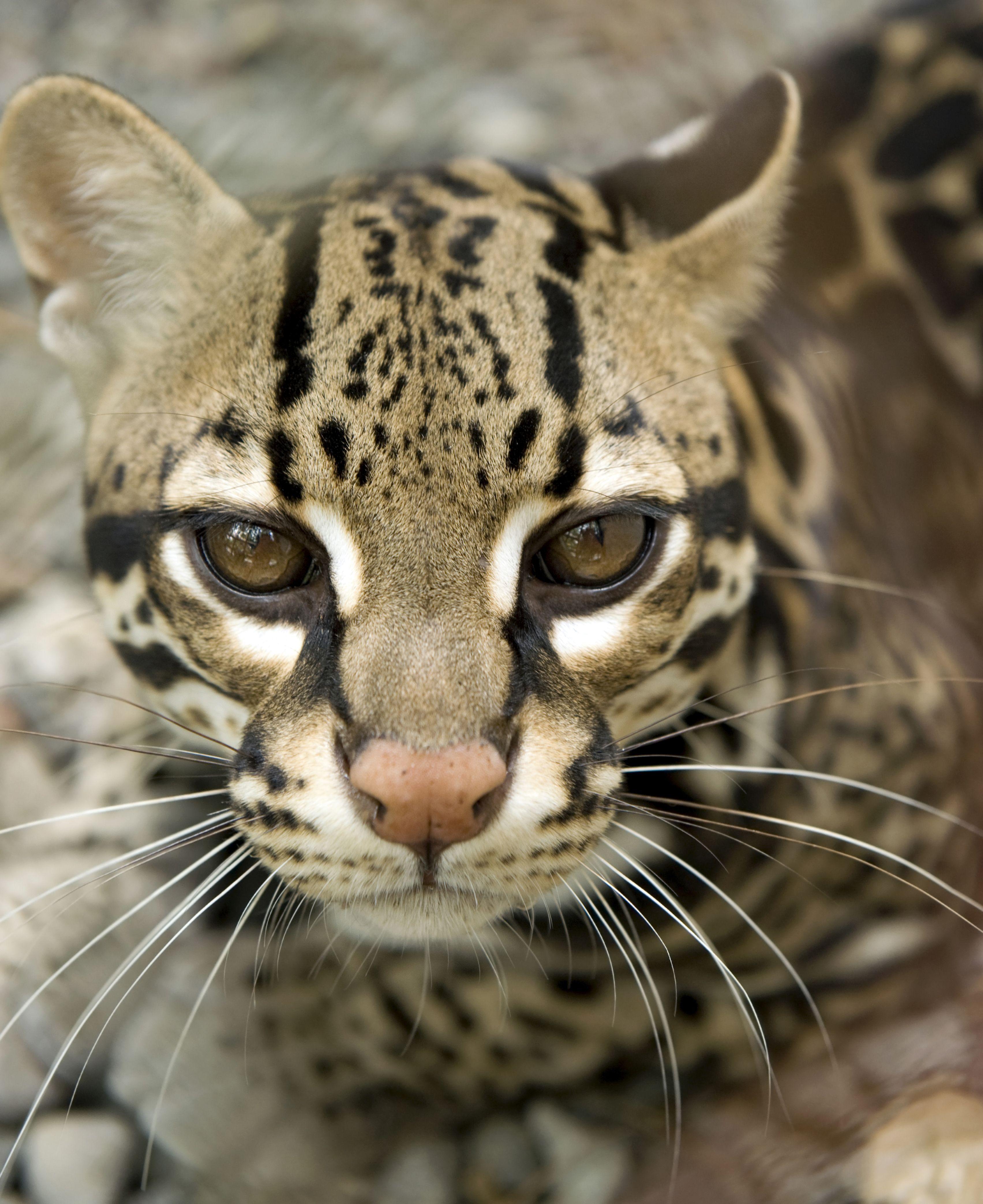 Ocelot Of Spots Moody Gardens Rainforest Wild Animals Pictures