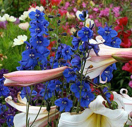 Delphinium Belladonna Blue Donna Perennial 3 Feet Tall Sun Average Water