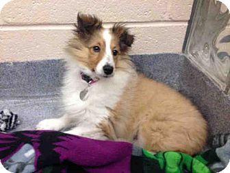 11217 Pittsburgh Pa Sheltie Shetland Sheepdog Meet Olivia A