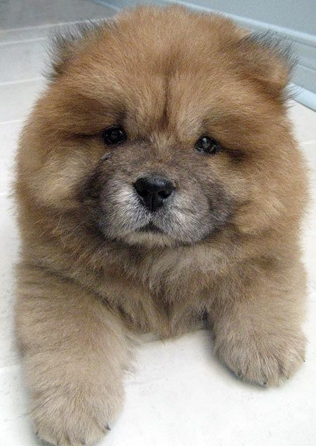 chow chow puppy.