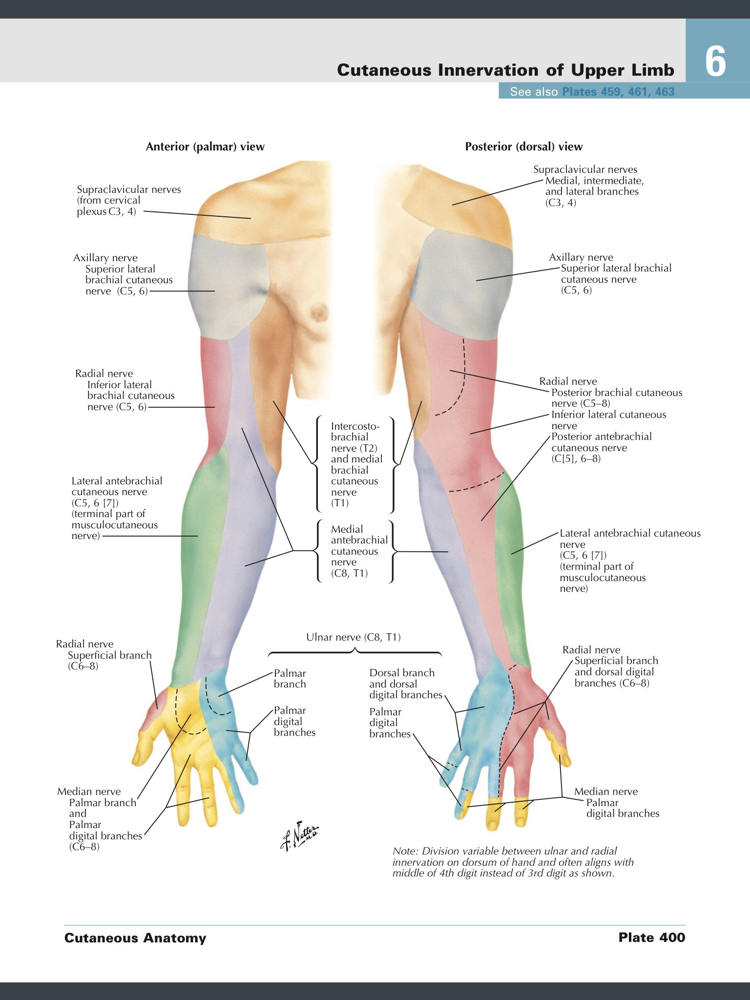 Cutaneous nerve supply forearm, arm, hand | Mednerd | Pinterest