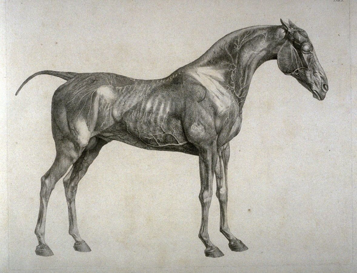 "reptilealiensmadeoflight: ""– George Stubbs, The Anatomy of the Horse ..."