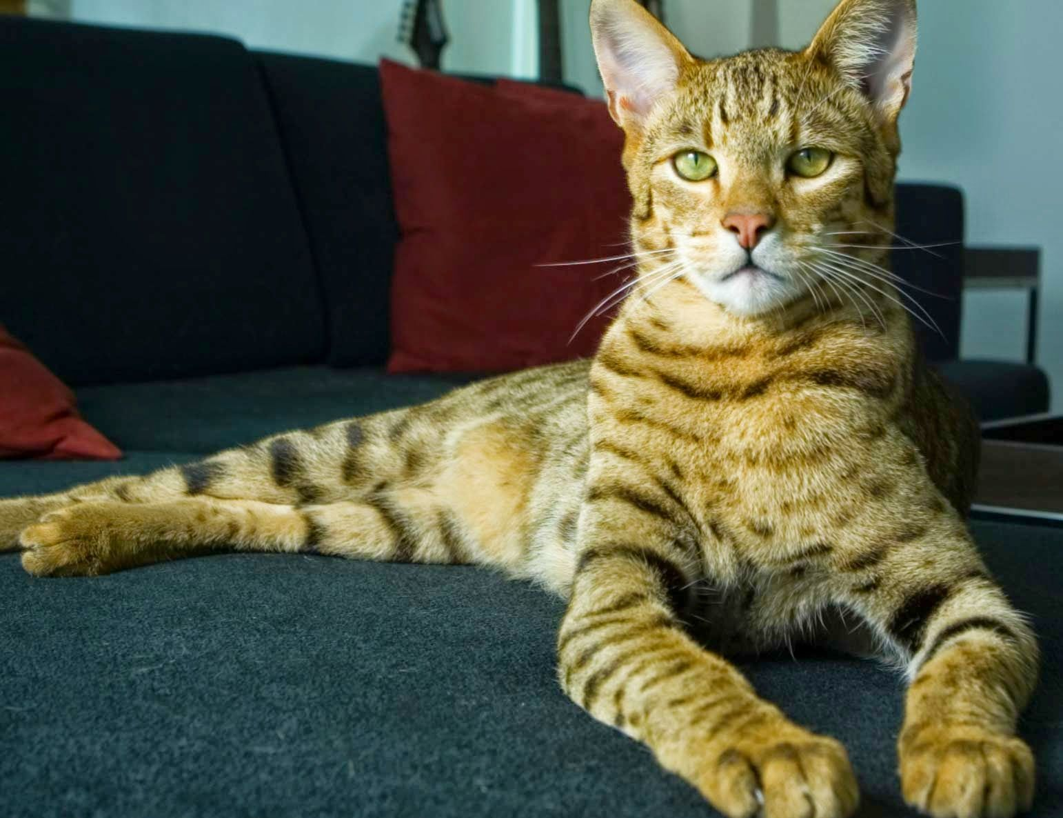 Hypoallergenic cat. Cat Breeds - photos, description 34