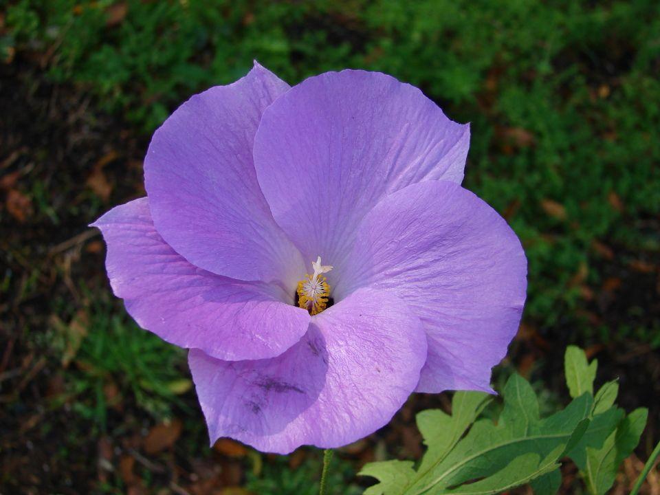 Lilac Hibiscus Photo By Ryan Fessenden Flmnh Plants Hibiscus Rainforest