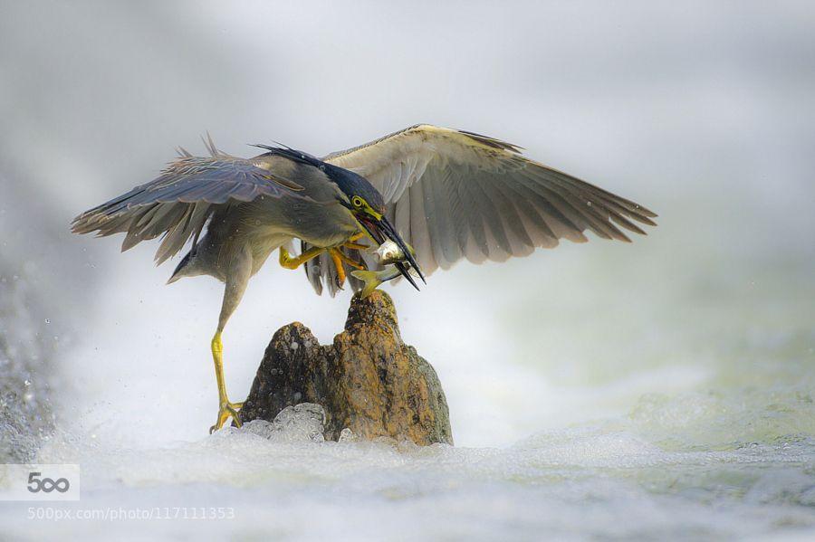 Green-Backed Herongreen heron by 55abk. Please Like http://fb.me/go4photos and Follow @go4fotos Thank You. :-)