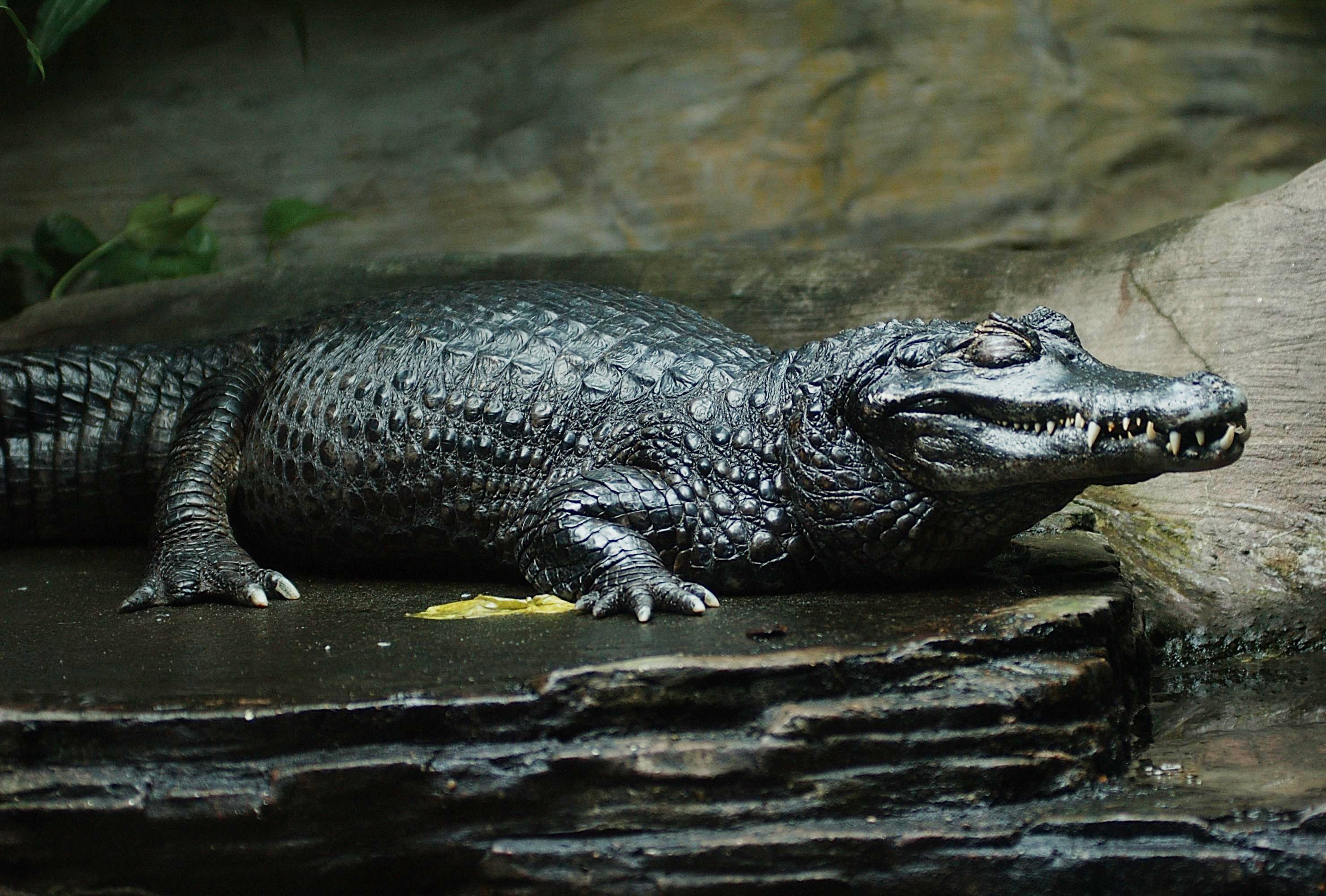 where do caimans live in the rainforest