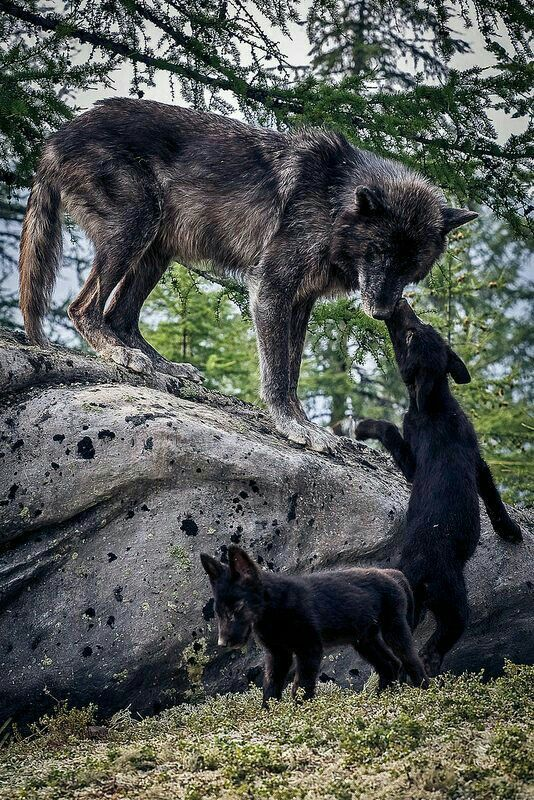 Mother Wolf and Her Pups.