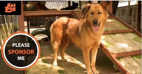 My name is Boyce. I am a five year old boy who used to live on a beach on the island of Phuket but people did not want me hanging around there and I was brought to the Soi Dog shelter, where I have been ever since. Did you know that one of the biggest ways you can help dogs like me is by joining the Sponsor Club? https://www.soidog.org/en/sponsor-a-dog-or-cat/?utm_source=facebook&utm_medium=L_Boyce&utm_campaign=Sponsor