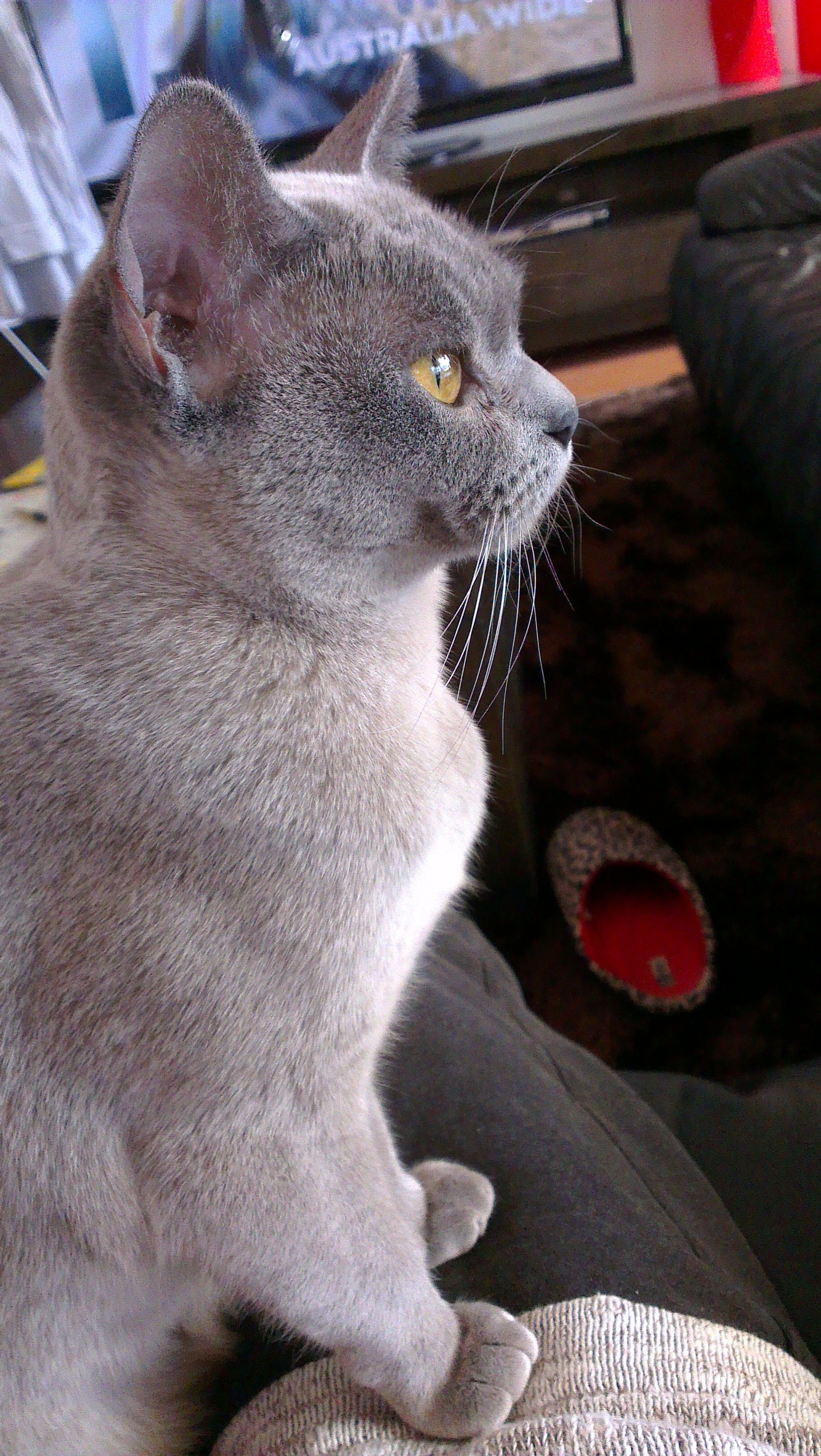 Natmac Burmese Breeding Queen Female Iceblu Indie Blue Burmese Cat Blue Colour Burmese Kittens For Sale Winthrop Burmese Cat Burmese Kittens Burmese Kittens For Sale