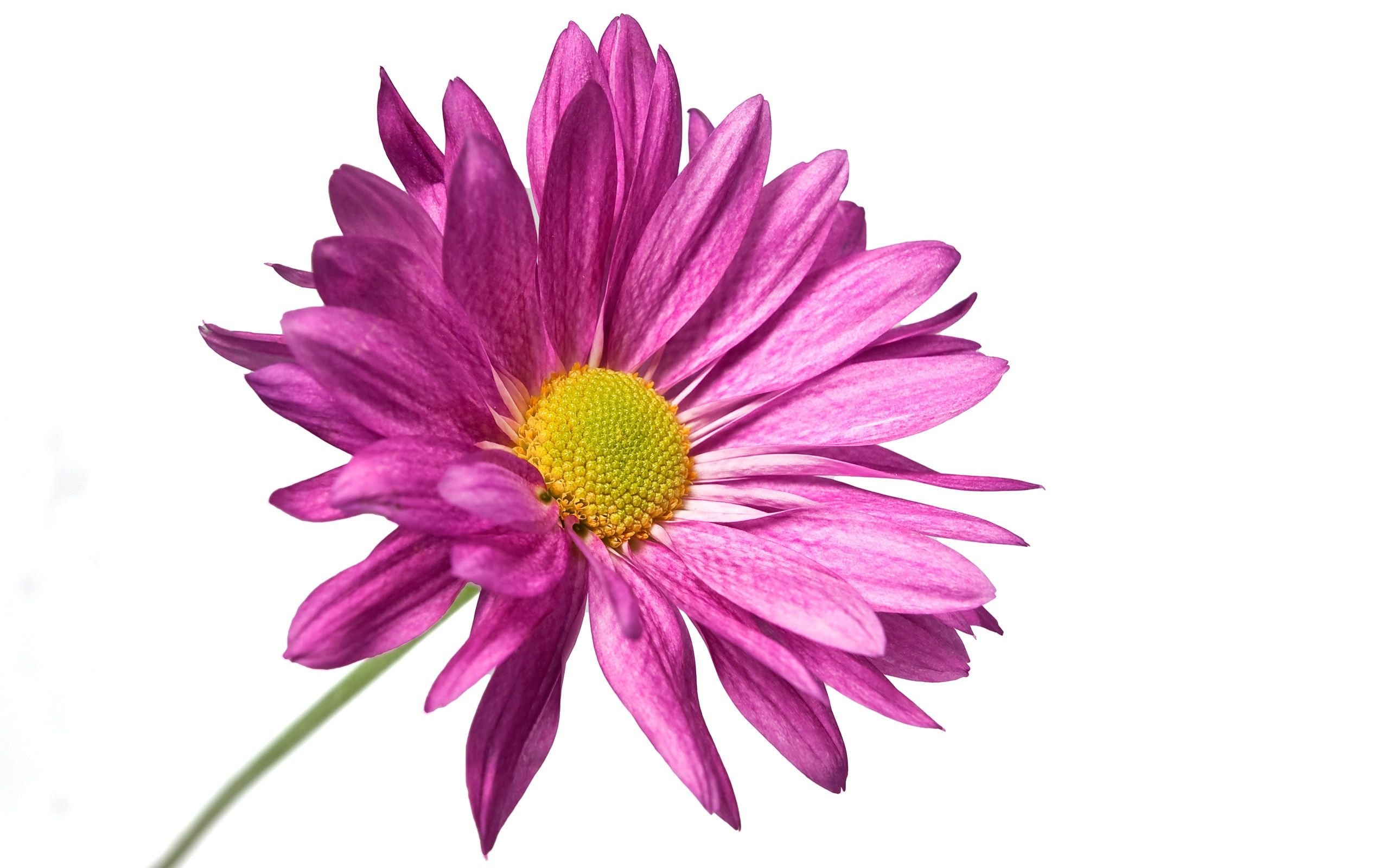 Purple flower with white background Pink daisy wallpaper