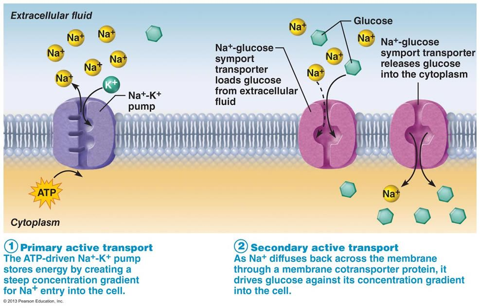 Secondary Active Transport Google Search Anatomy Physiology