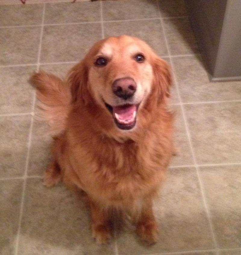 Adopt Misti On Golden Retriever Rescue Animal Shelter Dog