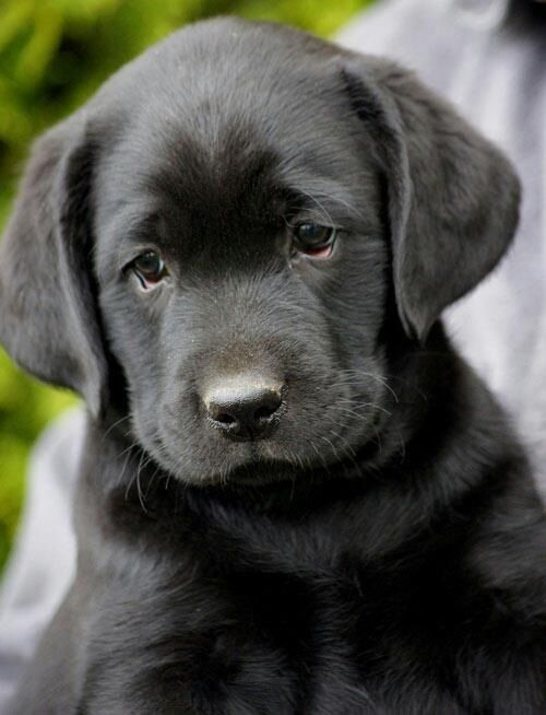 Black Labs It Looks Like My Puppy When She Was A Baby