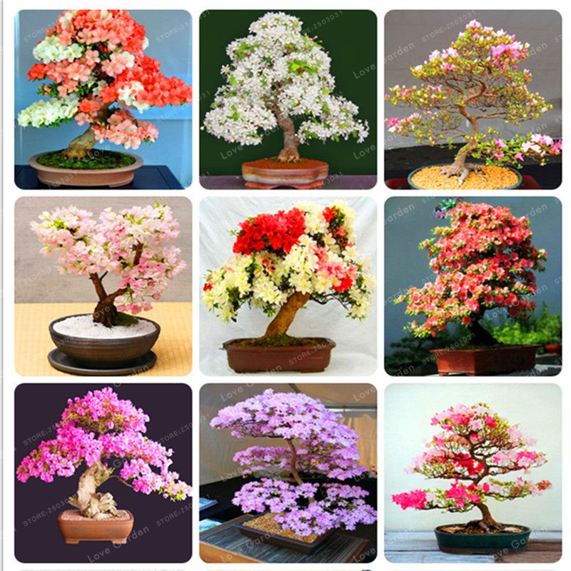 Raros Sementes De Sakura Flor Bonsai Sementes Plantas Bonsai Sementes De Flores De Cereja Arvore Da Flor De Cereja Pa Bonsai Flower Bonsai Plants Blossom Trees