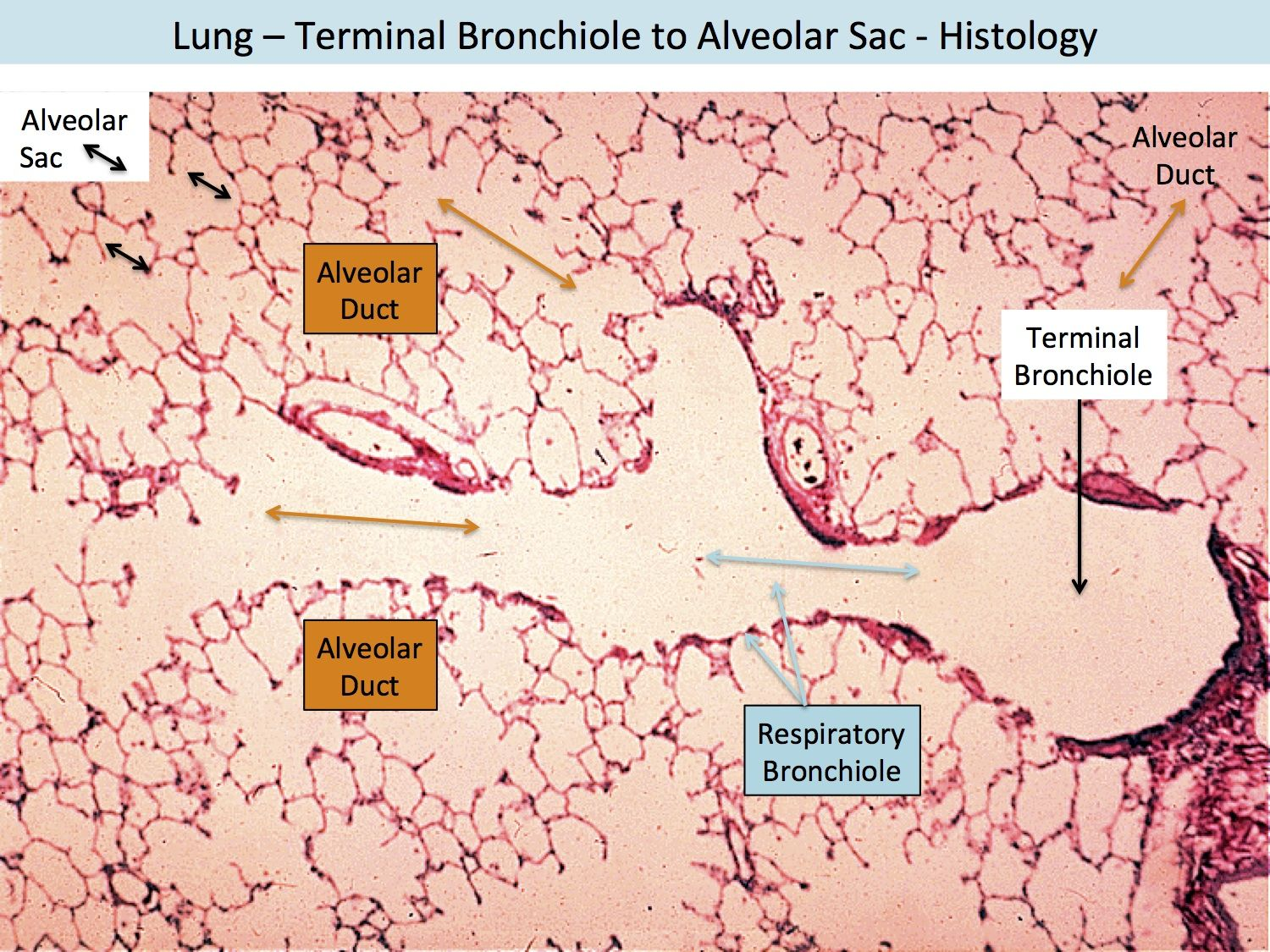 Lung terminal bronchiole to alveolar sac histology histology lung terminal bronchiole to alveolar sac histology ccuart Gallery