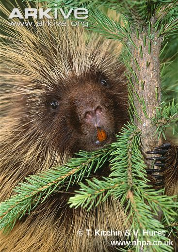 North American porcupine showing teeth | Ami-nals ...  North American ...
