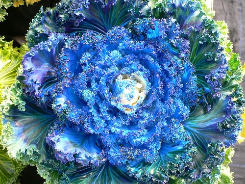 Blue Ornamental Cabbage Cabbage Flowers Ornamental Cabbage