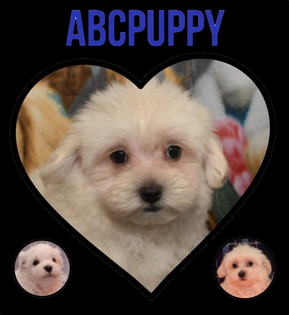 Mast Center Maltipoo Puppy Puppies Maltipoo Puppies For Sale