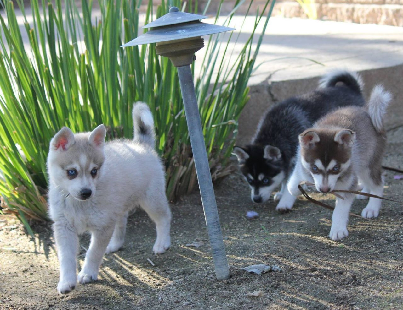 Middle Tennessee Pomskies Review Tennessee Pomsky Breeder