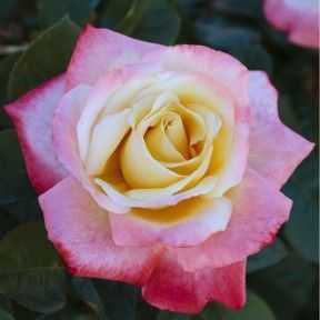Rosier LAETITIA CASTA ® Meilampario #knockoutrosen #Parfum #Rosier #Bicolore #Blanc #Rose #Laetitiacastarose #Hybridetea #Floribunda #Déco #Jardin #Garden #Meilland #knockoutrosen Rosier LAETITIA CASTA ® Meilampario #knockoutrosen #Parfum #Rosier #Bicolore #Blanc #Rose #Laetitiacastarose #Hybridetea #Floribunda #Déco #Jardin #Garden #Meilland #knockoutrosen