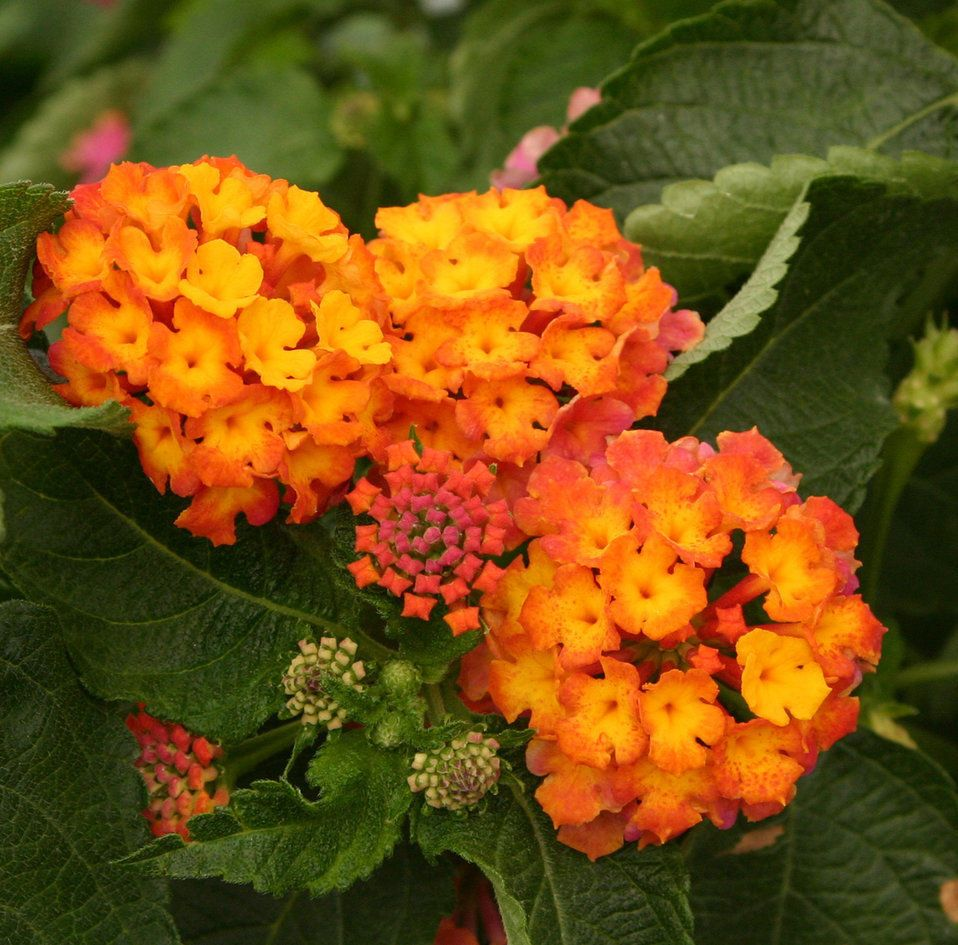 50 Lantana Bright Orange Live Flower Plants Plugs Home Garden Patio Planters 679 Lantana Lantana Flower Making Plant Pots
