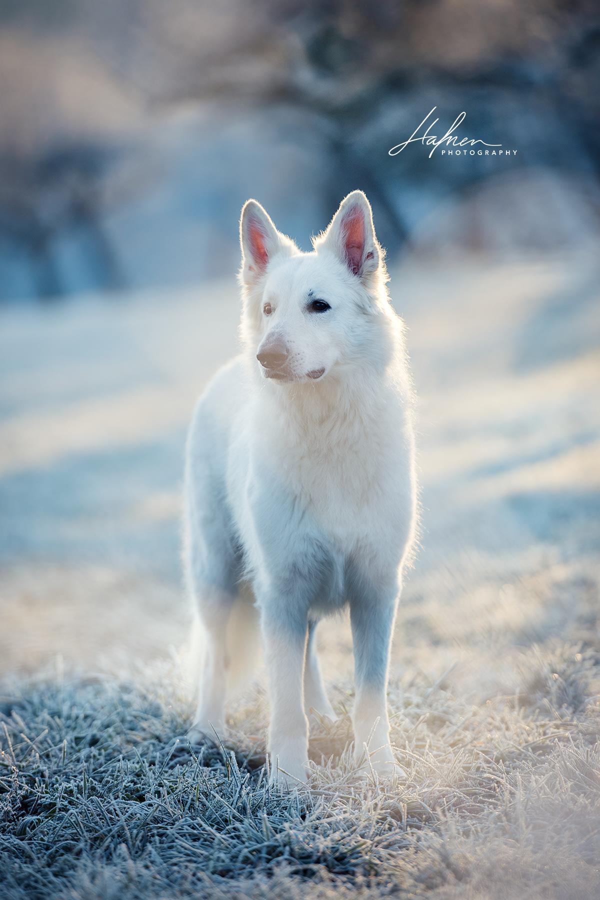 Weisser Schweizer Schaferhund Steht In Winterlandschaft Berger Blanc Suisse Hund Bilder Foto Fotografie Fotosho Hunde Fotos Hunde Bilder Hundefotos