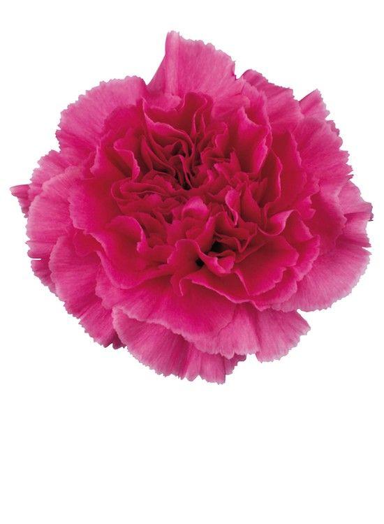 Farida Carnation Pink Carnations Carnation Flower Wholesale Flowers