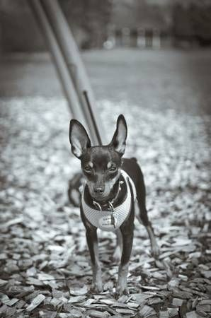 Beautiful Min Pin For Adoption Http Milwaukee Craigslist Org